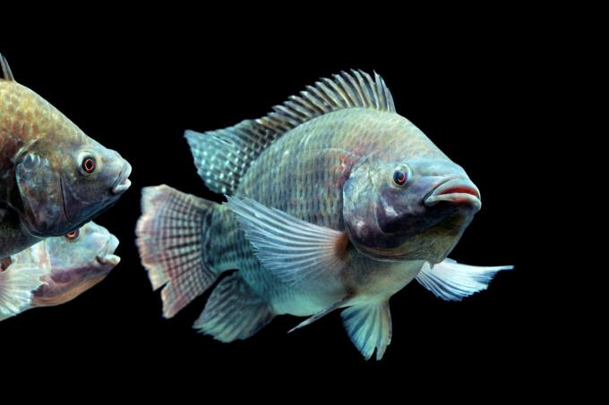 da cá rô phi có chứa nhiều collagen