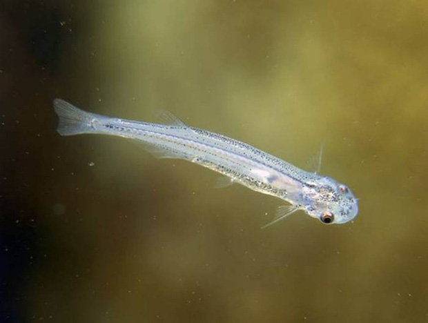 Chụp từ thiên nhiên loài cá có sở thích quái lạ